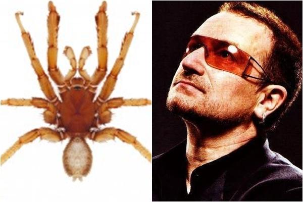 A.bono este o specie nouă de păianjen denumită după Bono, solistul trupei U2